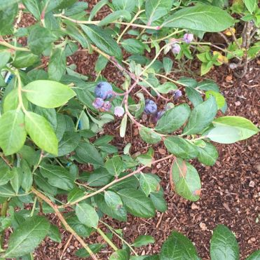 My own blueberries