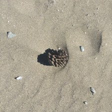 Yes, you can find pinecones on the beach